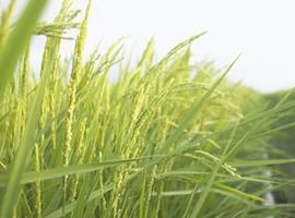 水稻涝害发生及症状 水稻涝害防止措施和涝后补救
